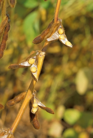 Sustainable U.S. Soy takes root in Japan